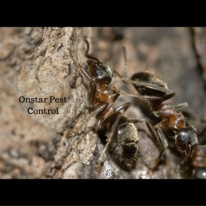 Controlling these ants in Oakdale Is what we do