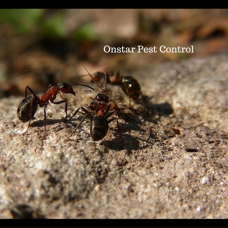 Ants being pests in Modesto