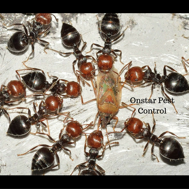 Exterinate ants in Manteca CA