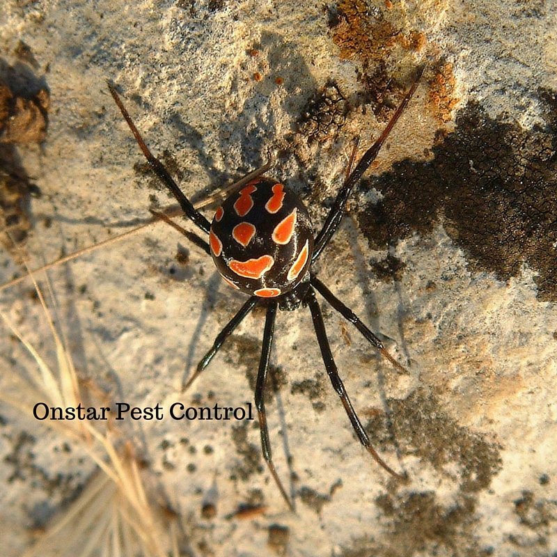 Modesto Black widow pests
