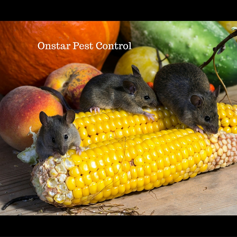 Modesto Mice infestation need control