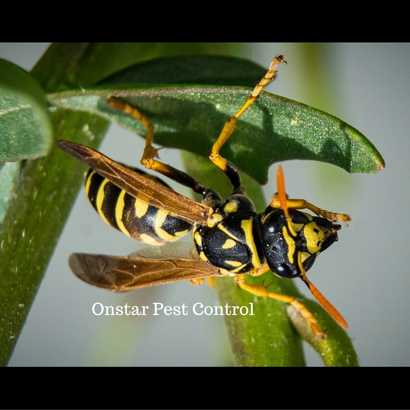 Wasp out of control In Modesto