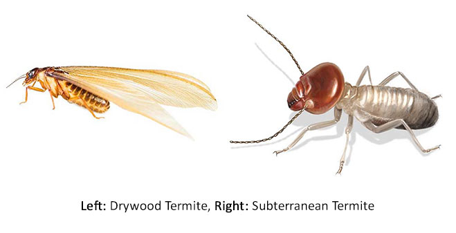 drywood-vs-subterranean-termite_edit