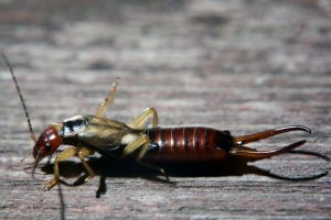 what-is-an-earwig